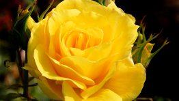 yellow-roses-amazing-wallpaper-m1b-262x148